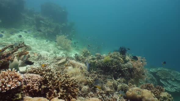 Thumbnail for Coral Reef with Fish Underwater. Camiguin, Philippines