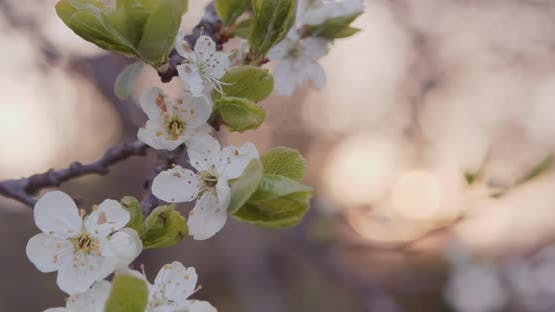White Flowers Blossoms on the Branches Plum Tree