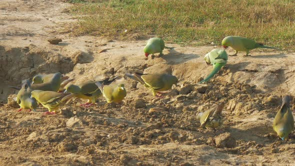 Thumbnail for Funny Parrots of Green Colour Search for Food on Ground