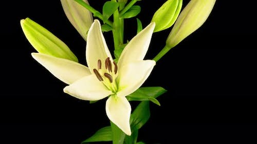 Time Lapse of Beautiful White Lily Flower Blossoms