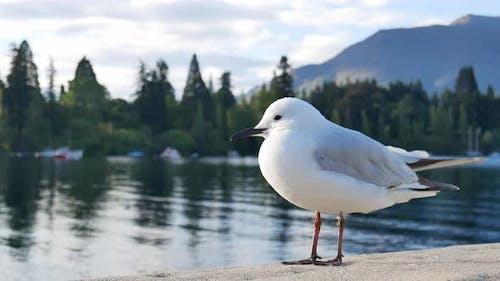 Lonely seagull stand with background Lake Wakatipu