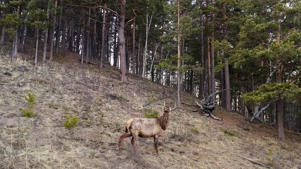 Aerial Shot of Wild Maral Horned on the Mountainside
