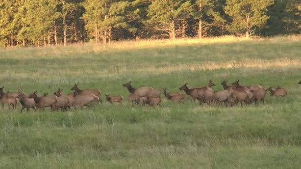 Thumbnail for Elk Bull Cow Adult Calf Herd Many Walking Moving in Summer Dawn Morning