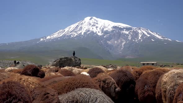 Thumbnail for Brown Sheeps and One Black Goat on Ararat Mountain in Anatolia Turkey