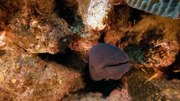 Cover Image for Underwater Giant Moray