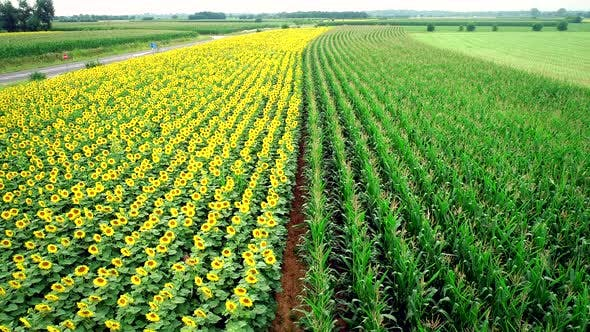 Thumbnail for Aerial view of rows of sunflower and corn in fields.
