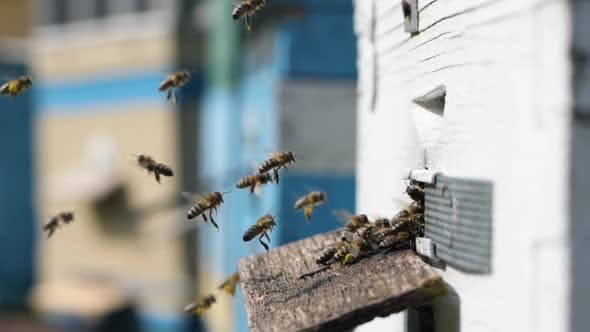 Apiculture, Swarm of Bees Brings Nectar Balls Collected From Flowering Plants To Their Hive for