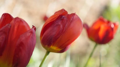Slow motion Didier tulip lily plant bulb close-up   1920X1080 HD footage - Garden  Tulipa gesneriana