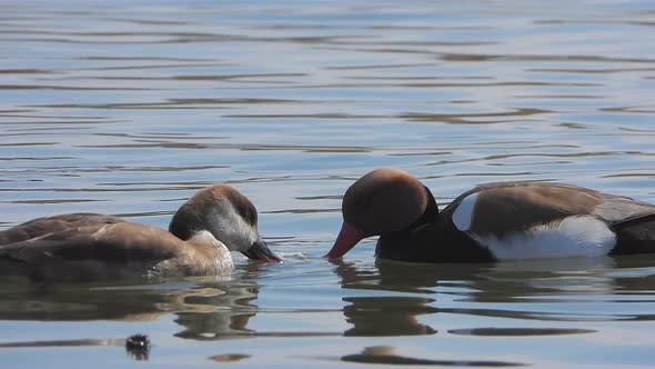 Red-Crested Pochard Duck Bird Swim on Lake Water Surface in Nature