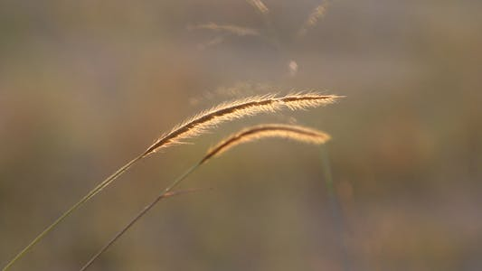 Cover Image for Lalang Grass In Morning Sunlight