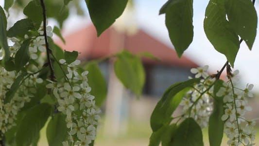 Thumbnail for Flowering Bird-Cherry Tree And House