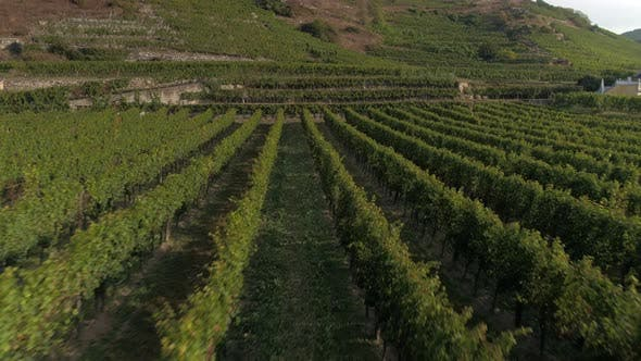 Aerial View of a Mature Vinyard at Sunset