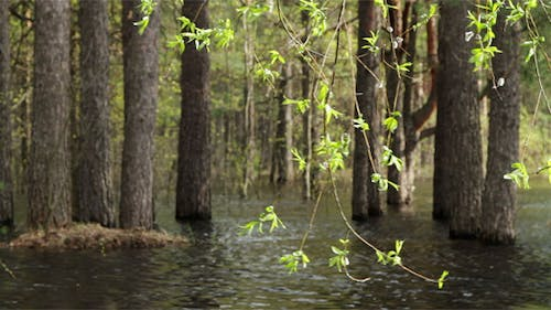 Pine Forest In The Water