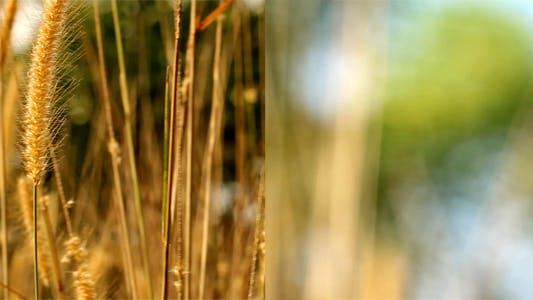Thumbnail for Lalang Grass In The Morning Light (Pack Of 2)