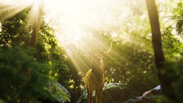 Thumbnail for Red Deer Stag in Forest