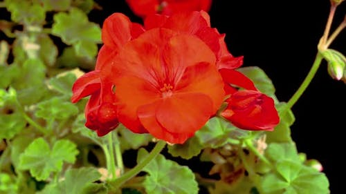 Beautiful Time Lapse of Blooming Red Geranium
