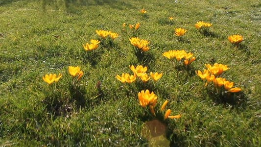 Thumbnail for Crocus in Spring