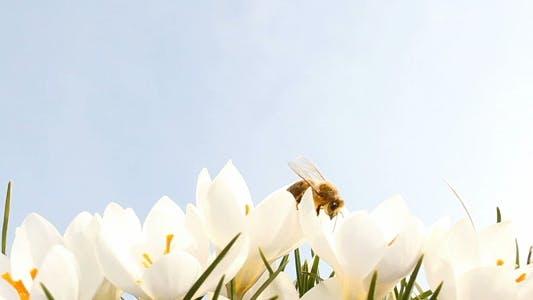 Thumbnail for Bee on Crocus