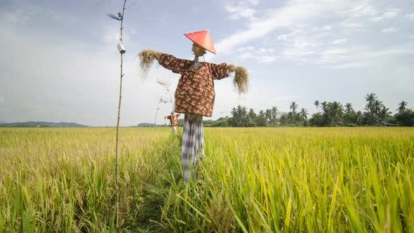 Rice paddy field and scarecrow in Malaysi background.
