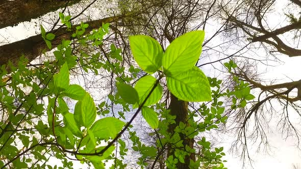 Thumbnail for Green Leaves in Early Spring