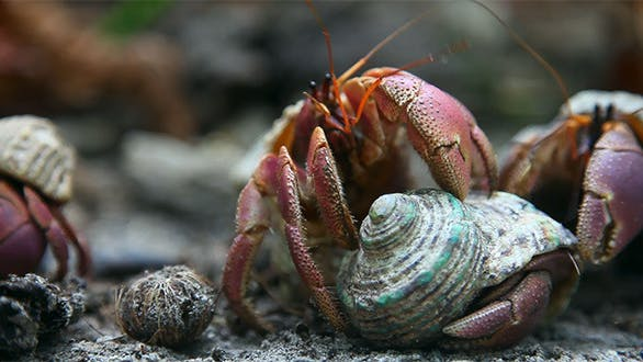 Thumbnail for Hermit Crabs