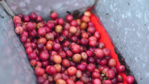 Thumbnail for Robusta Coffee Cherries Being Hulled in a Coffee Peeler Machine.