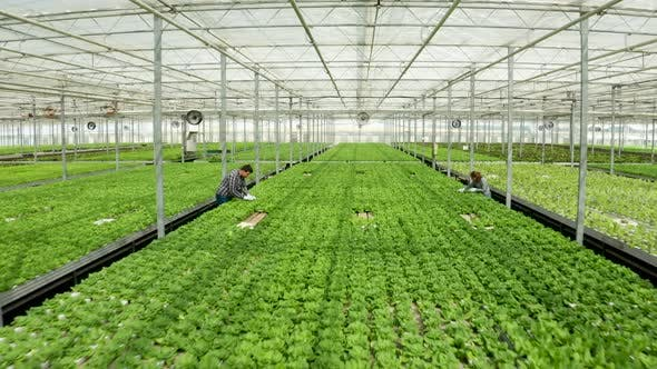 Cover Image for Aerial View in a Greenhouse with Farmers