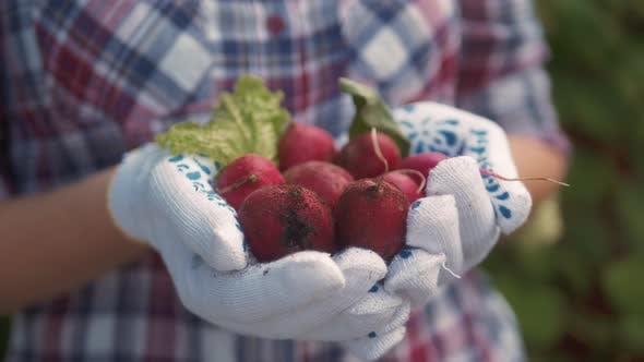 Thumbnail for Organic Fresh Harvested Vegetables. Farmer`s Hands Holding Fresh Radish, Closeup.