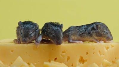 Newborn Mice Crawl on Cheese