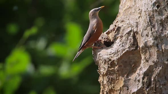 Thumbnail for Chestnut-tailed starling in Bardia national park, Nepal