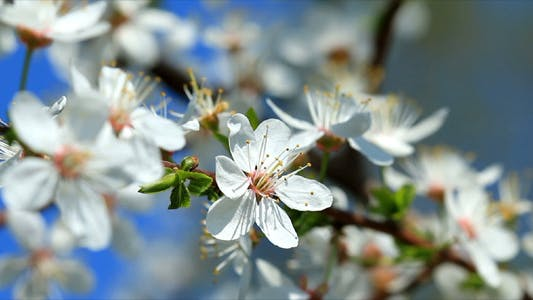 Thumbnail for Cherry Blossom 1