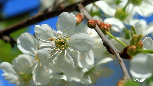 Cover Image for Cherry Blossom 2