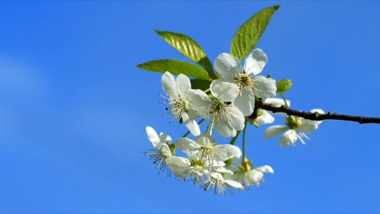 Thumbnail for Cherry Blossom 5