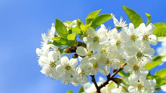 Thumbnail for Cherry Blossom 7