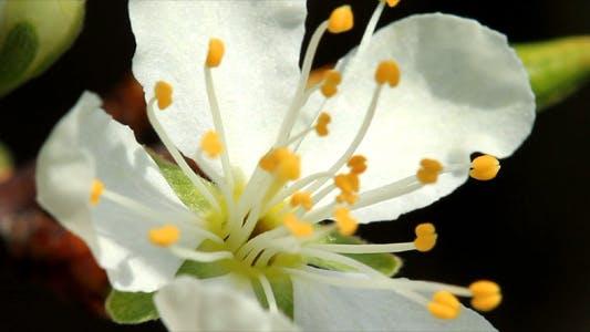 Thumbnail for Cherry Blossom 9