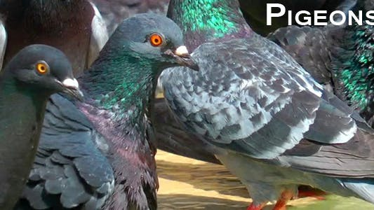 Thumbnail for Pigeons 7