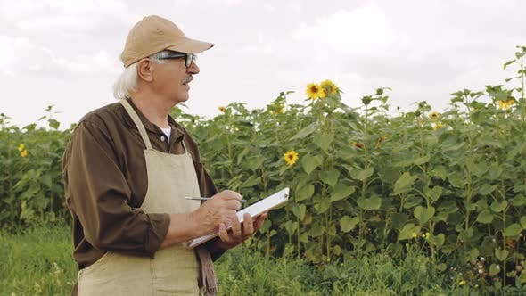 Senior Agronomist Examining Sunflower Field