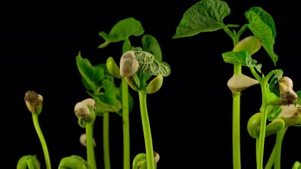 Thumbnail for Beans Germination on Black Background