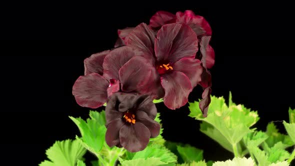 Beautiful Time Lapse of Blooming Black Geranium