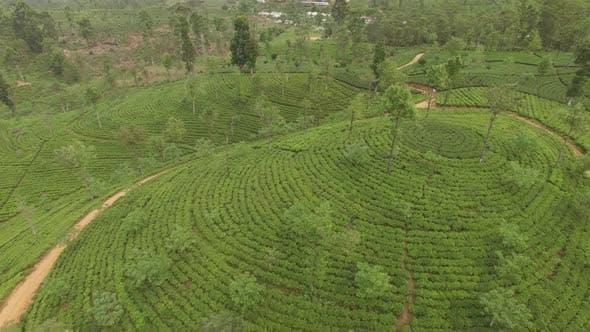 Thumbnail for Backward Flyover Tea Plants