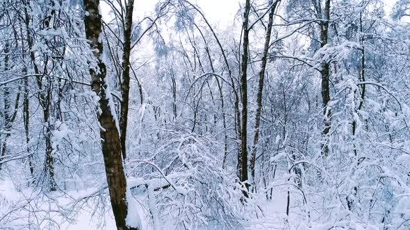 Snowy Branches in Forest Winter Fairy Background