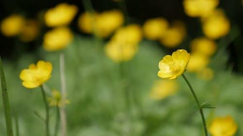 Hidden in grass   Creeping buttercups beautiful yellow buds green background  4K 2160p 30fps UltraHD