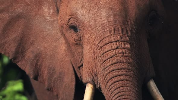 Slow motion close up of African Elephant in Kenya