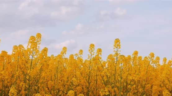 Thumbnail for Agriculture Canola Rapeseed Field Blooming