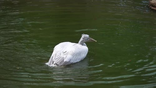 Pelican Flaps Its Wings on Water