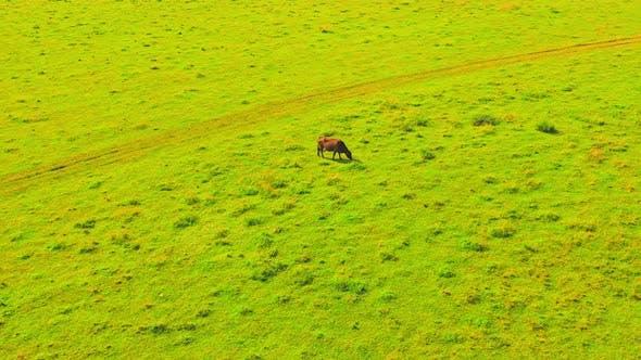 Brown Graze Cow Rural Scene in Countryside