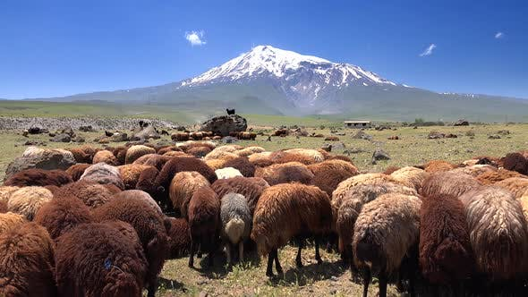 Thumbnail for Brown Sheeps  on Ararat Mountain in Anatolia Turkey