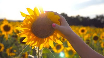 Female Hand Touching Beautiful Sunflower in the Field with Sun Flare at Background