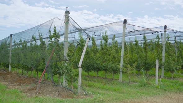 Cultivation of Pears Under Industrial Tents