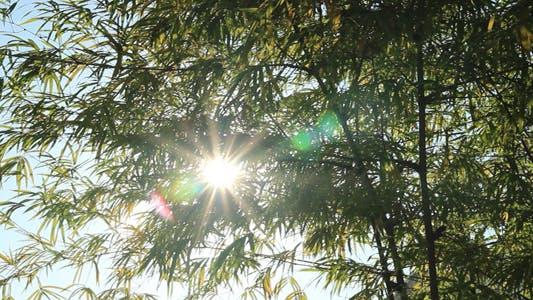 Cover Image for Sunshine Through Bamboo Leaves V